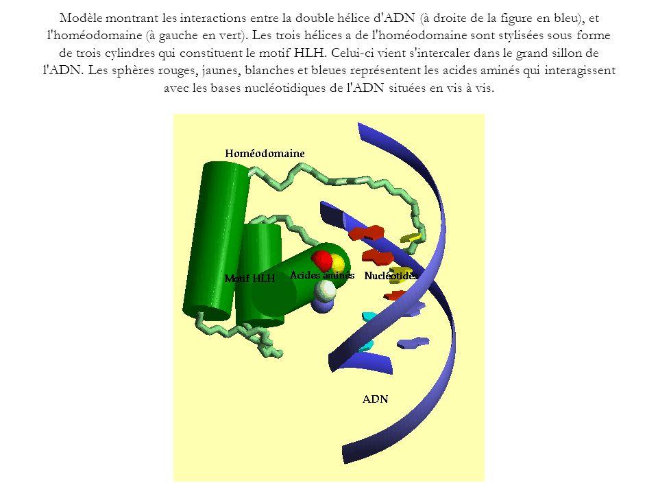Modèle montrant les interactions entre la double hélice d ADN (à droite de la figure en bleu), et l homéodomaine (à gauche en vert).