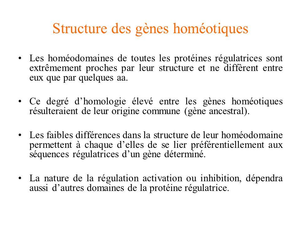 Structure des gènes homéotiques