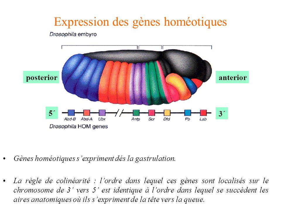 Expression des gènes homéotiques
