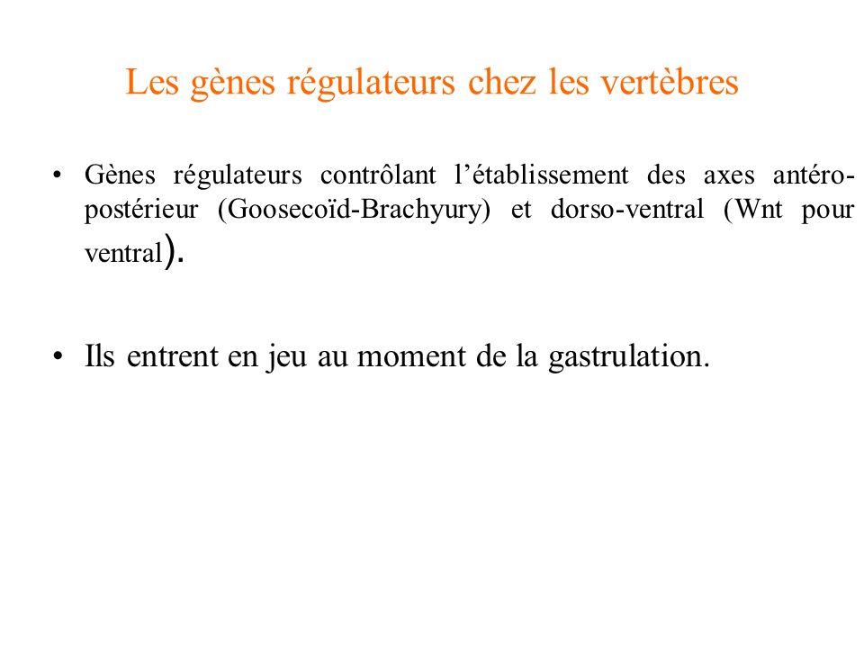 Les gènes régulateurs chez les vertèbres