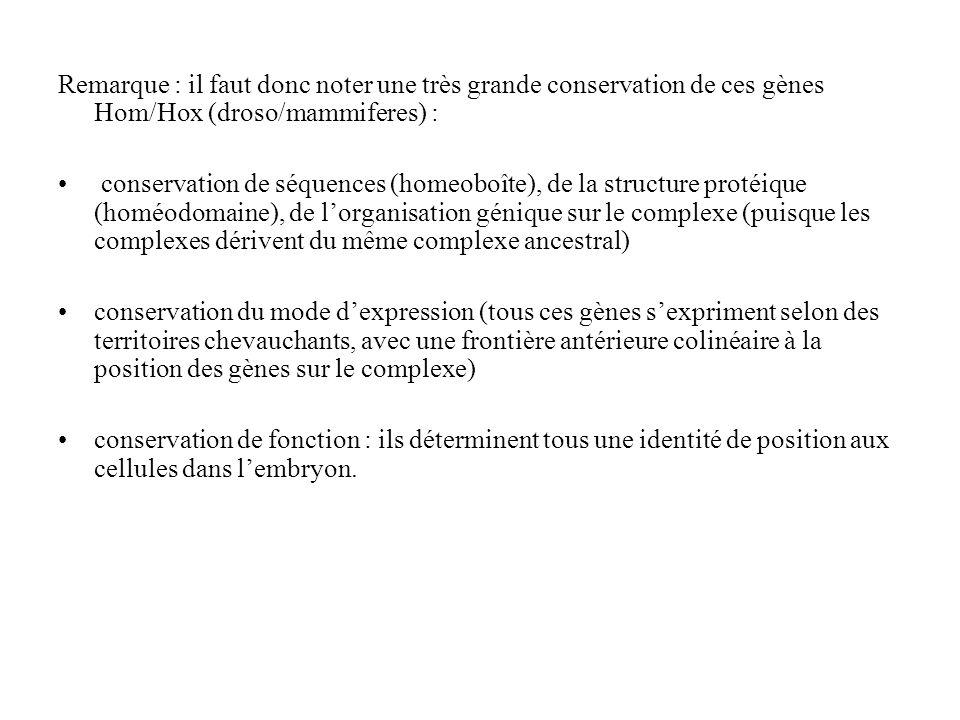 Remarque : il faut donc noter une très grande conservation de ces gènes Hom/Hox (droso/mammiferes) :