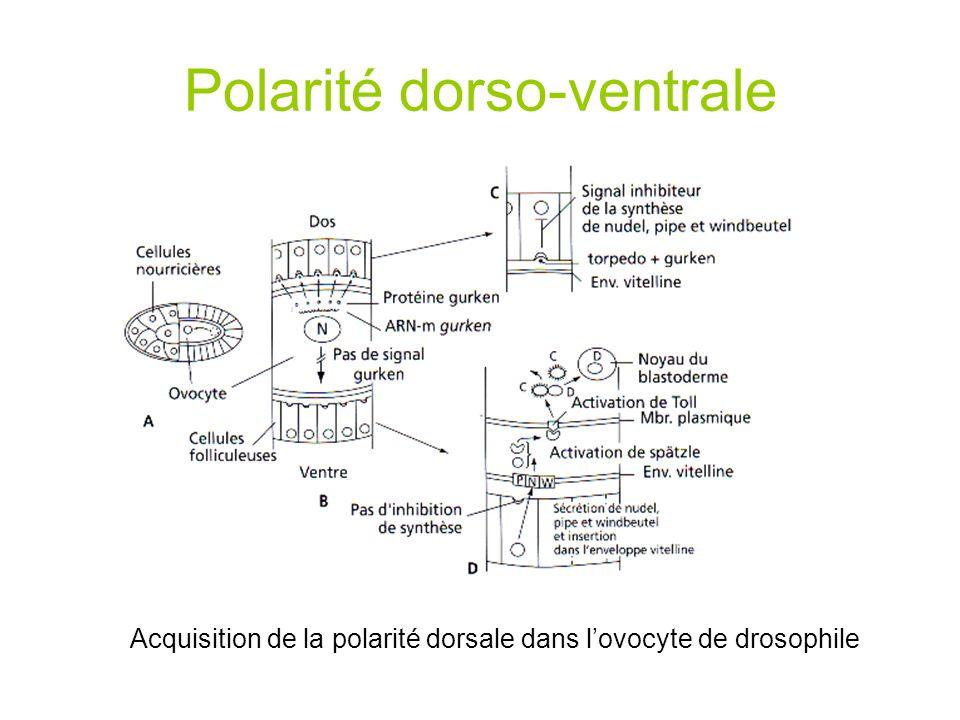 Polarité dorso-ventrale