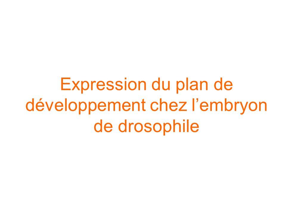 Expression du plan de développement chez l'embryon de drosophile