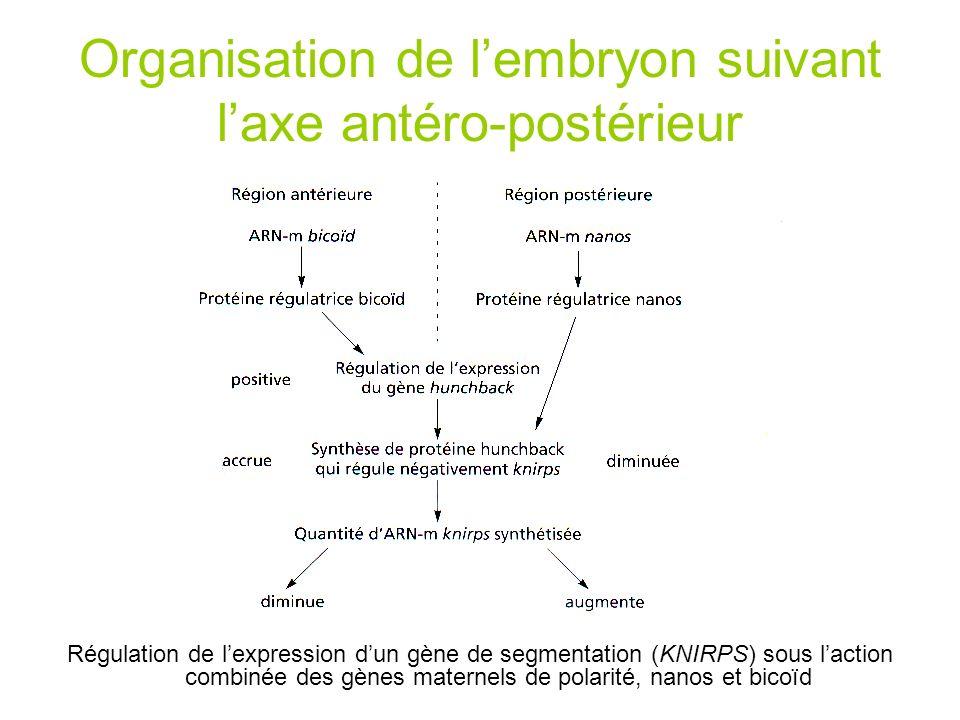 Organisation de l'embryon suivant l'axe antéro-postérieur