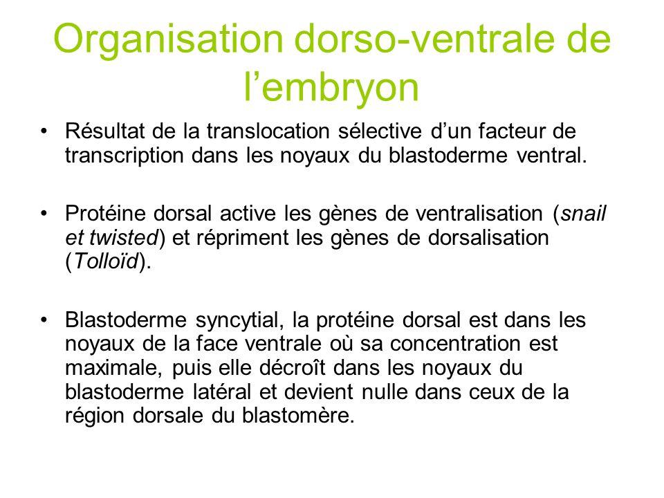 Organisation dorso-ventrale de l'embryon