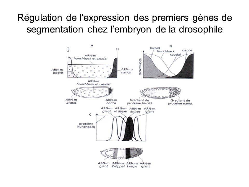 Régulation de l'expression des premiers gènes de segmentation chez l'embryon de la drosophile