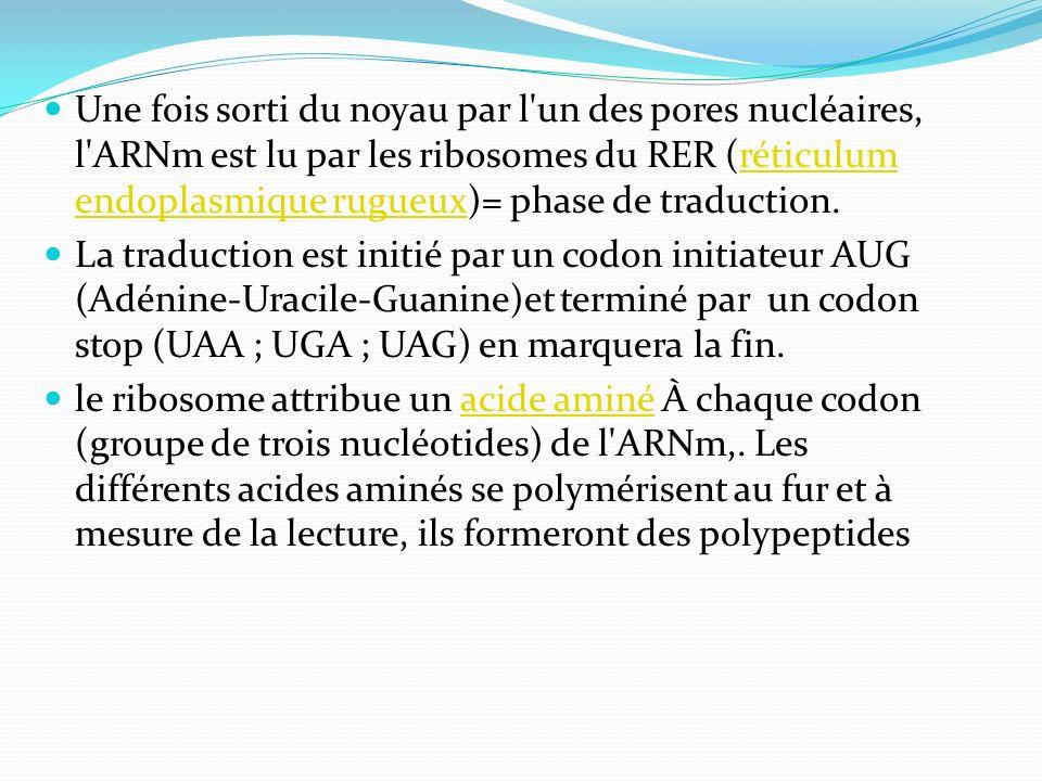Une fois sorti du noyau par l un des pores nucléaires, l ARNm est lu par les ribosomes du RER (réticulum endoplasmique rugueux)= phase de traduction.