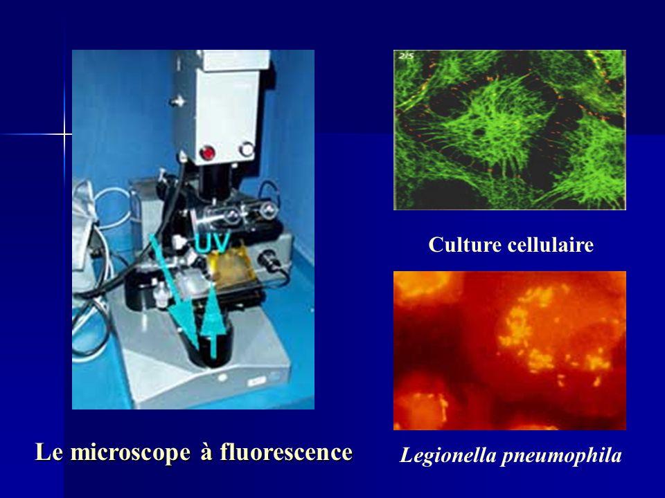 Le microscope à fluorescence Legionella pneumophila