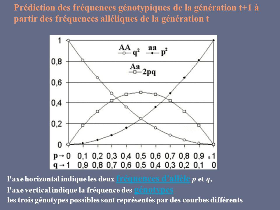 Prédiction des fréquences génotypiques de la génération t+1 à partir des fréquences alléliques de la génération t