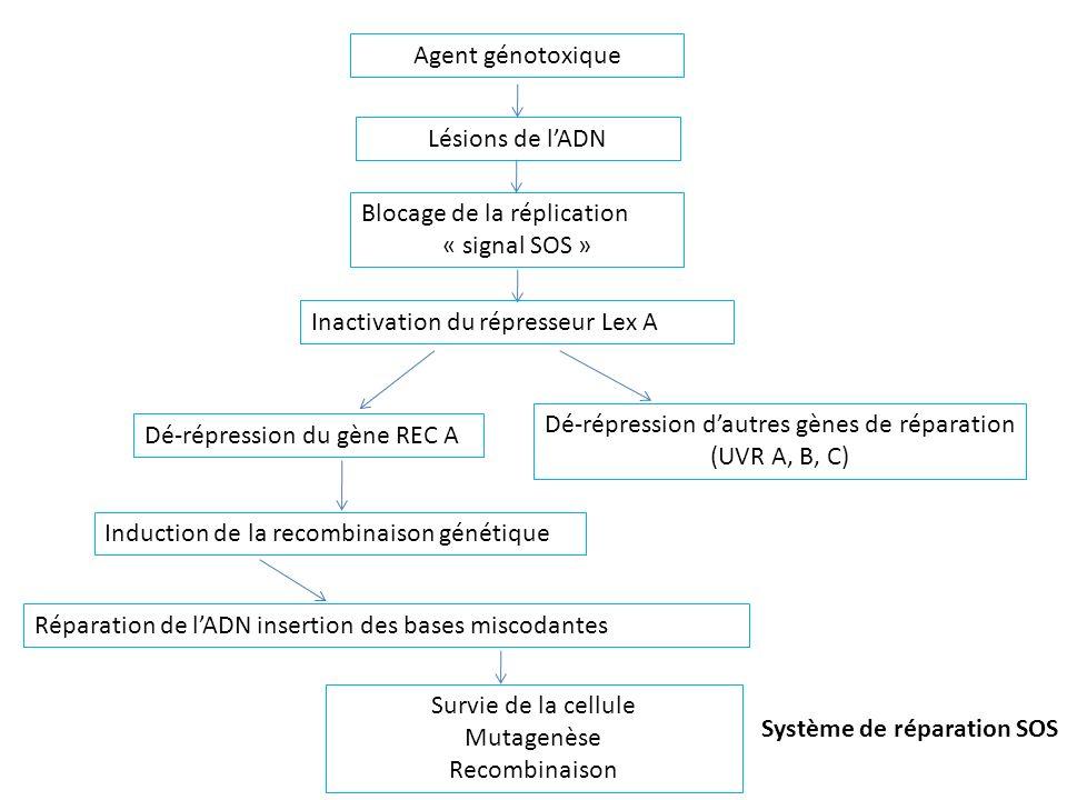 Agent génotoxiqueLésions de l'ADN. Blocage de la réplication. « signal SOS » Inactivation du répresseur Lex A.