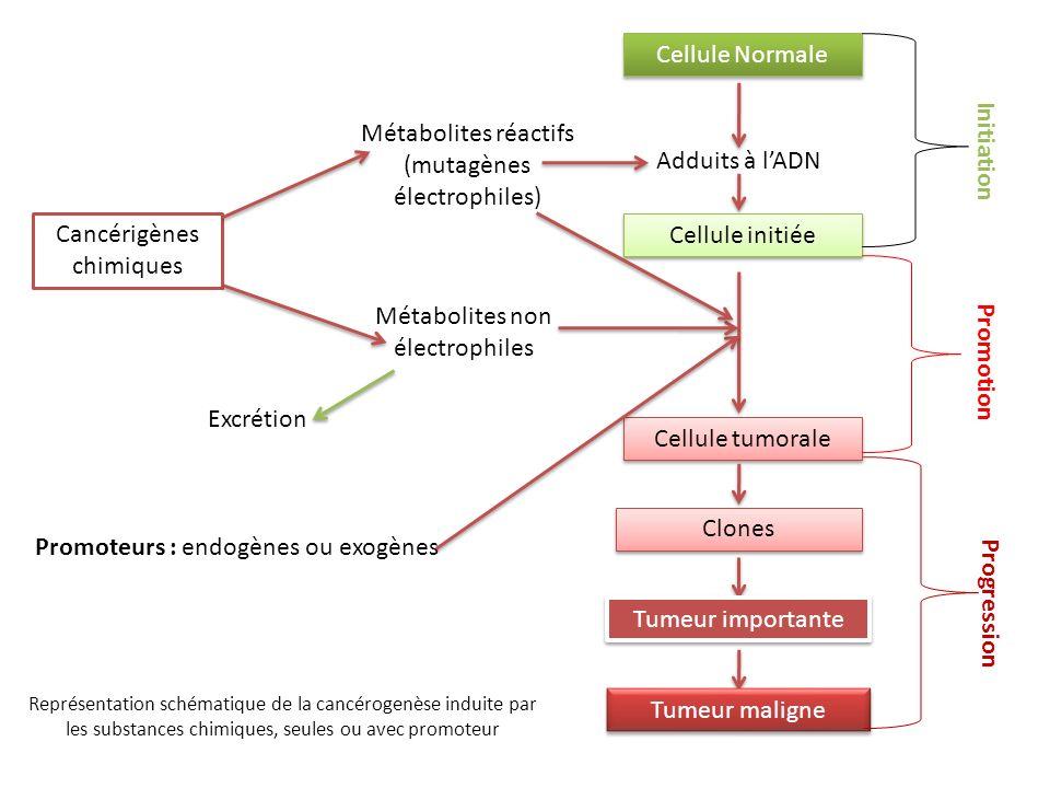 Métabolites réactifs (mutagènes électrophiles) Adduits à l'ADN