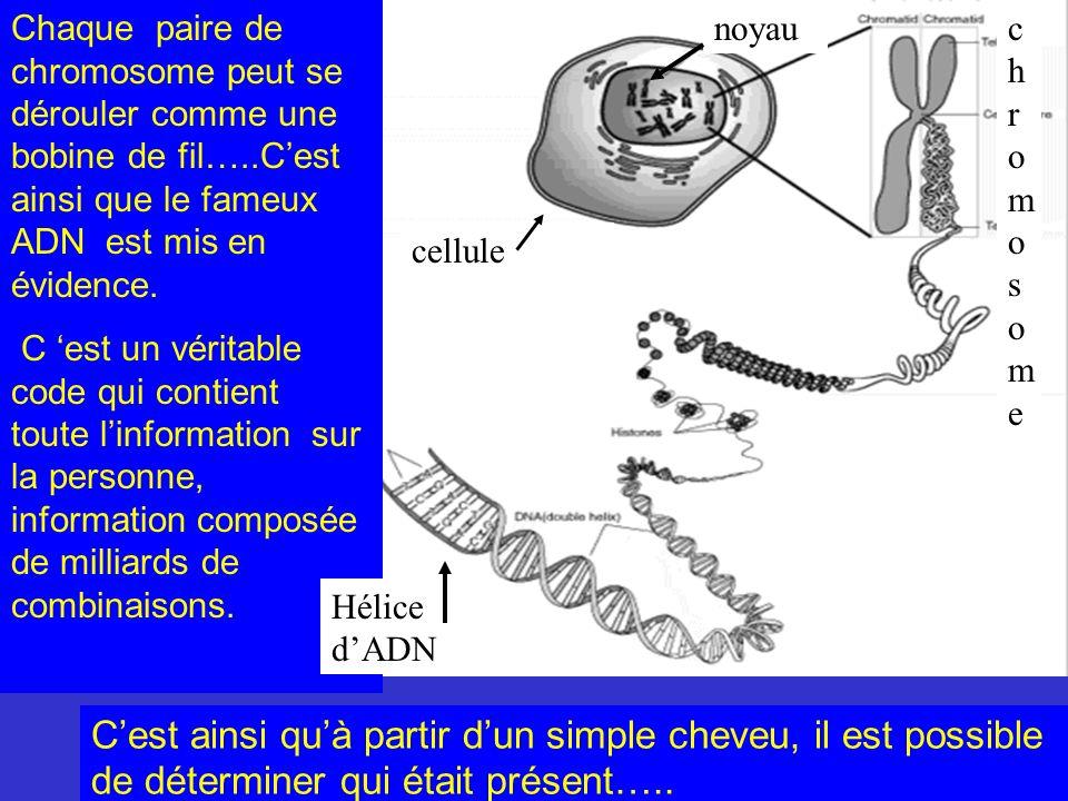 Chaque paire de chromosome peut se dérouler comme une bobine de fil…