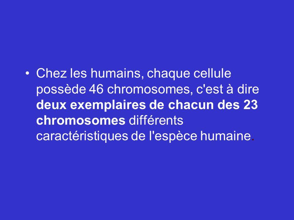 Chez les humains, chaque cellule possède 46 chromosomes, c est à dire deux exemplaires de chacun des 23 chromosomes différents caractéristiques de l espèce humaine.