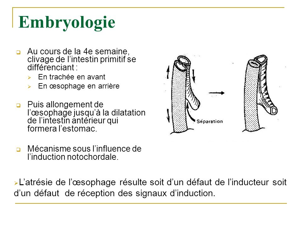 Embryologie Au cours de la 4e semaine, clivage de l'intestin primitif se différenciant : En trachée en avant.