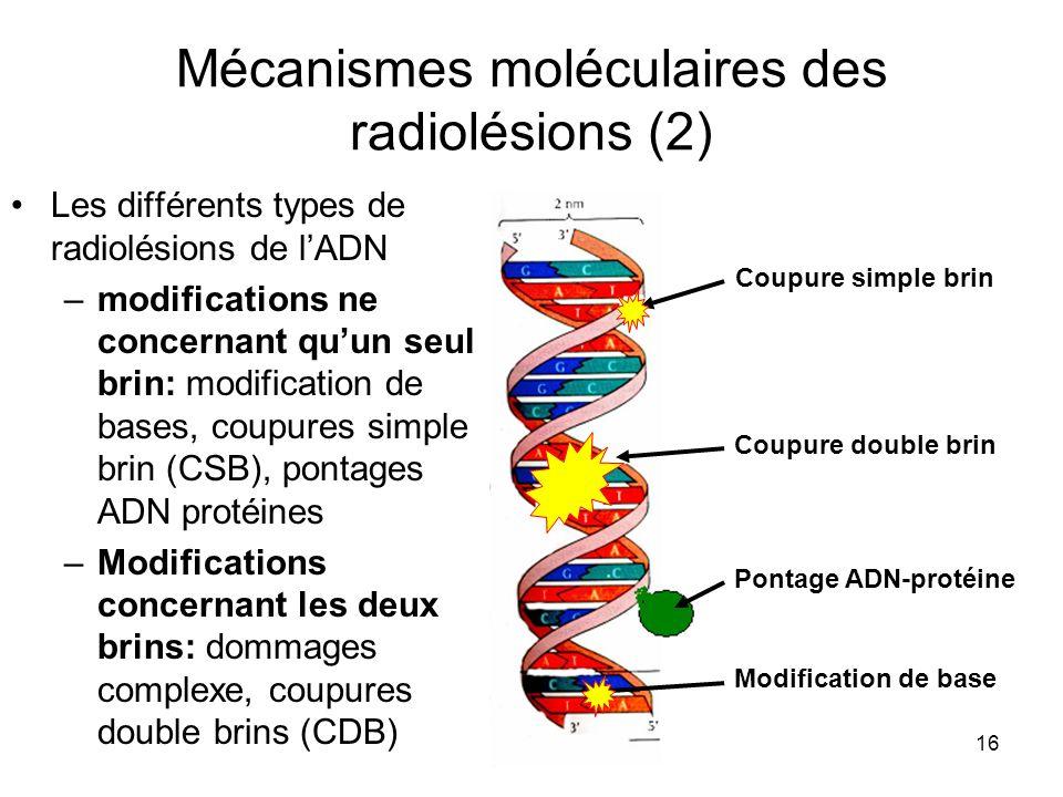 Mécanismes moléculaires des radiolésions (2)
