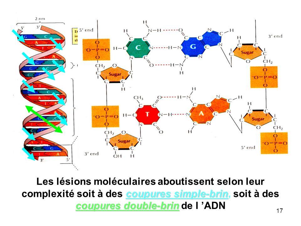Les lésions moléculaires aboutissent selon leur complexité soit à des coupures simple-brin, soit à des coupures double-brin de l 'ADN