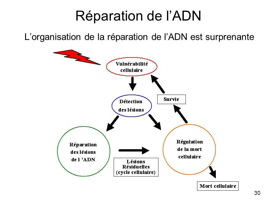 L'organisation de la réparation de l'ADN est surprenante