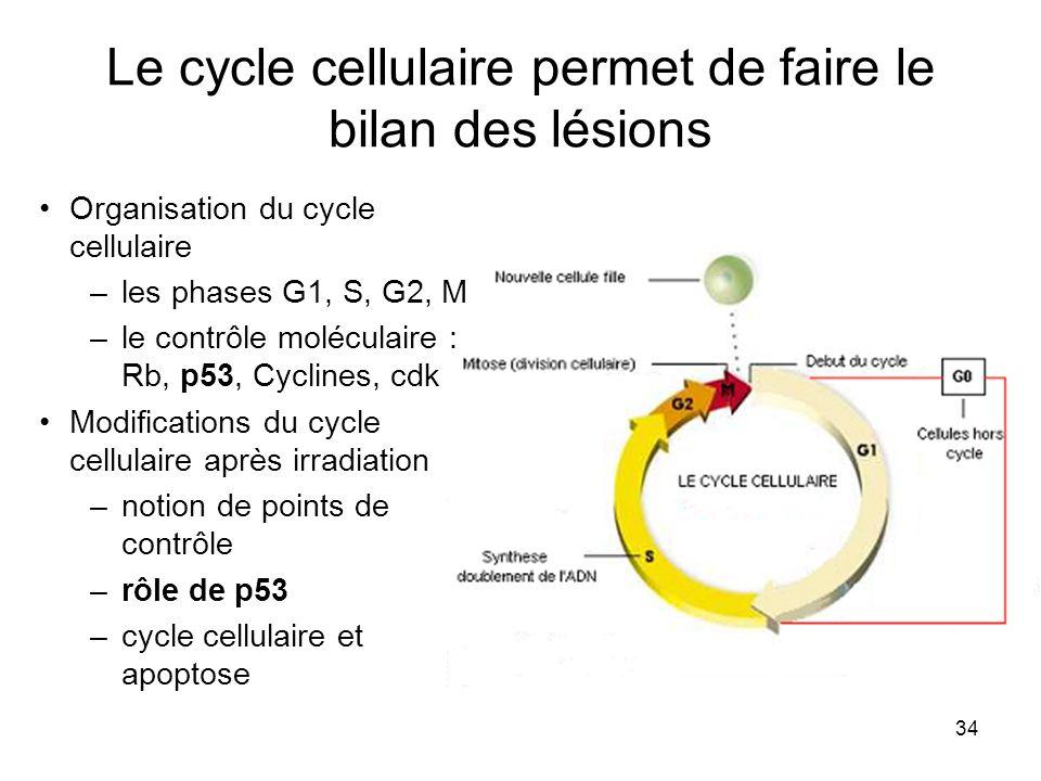Le cycle cellulaire permet de faire le bilan des lésions
