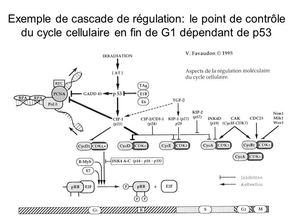 Exemple de cascade de régulation: le point de contrôle du cycle cellulaire en fin de G1 dépendant de p53