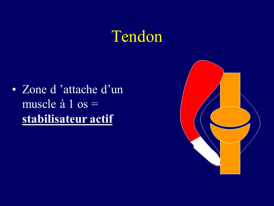 Tendon Zone d 'attache d'un muscle à 1 os = stabilisateur actif