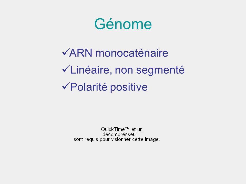 Génome ARN monocaténaire Linéaire, non segmenté Polarité positive