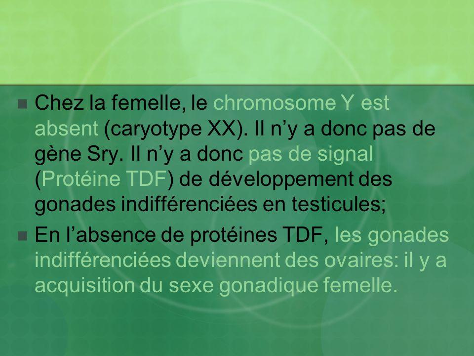 Chez la femelle, le chromosome Y est absent (caryotype XX)