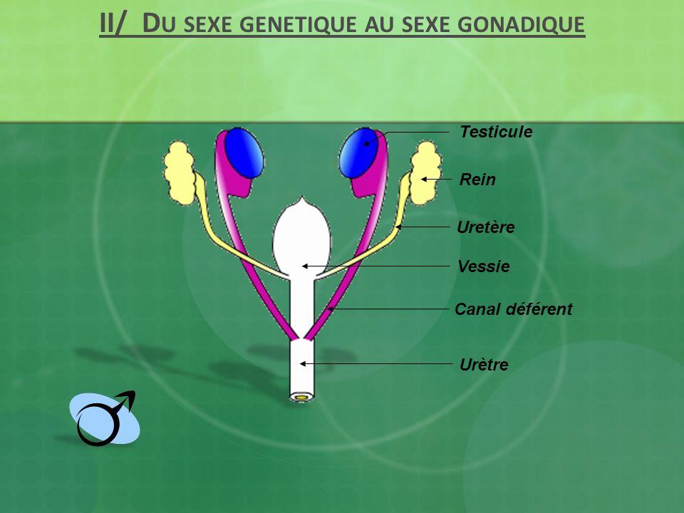 II/ Du sexe genetique au sexe gonadique