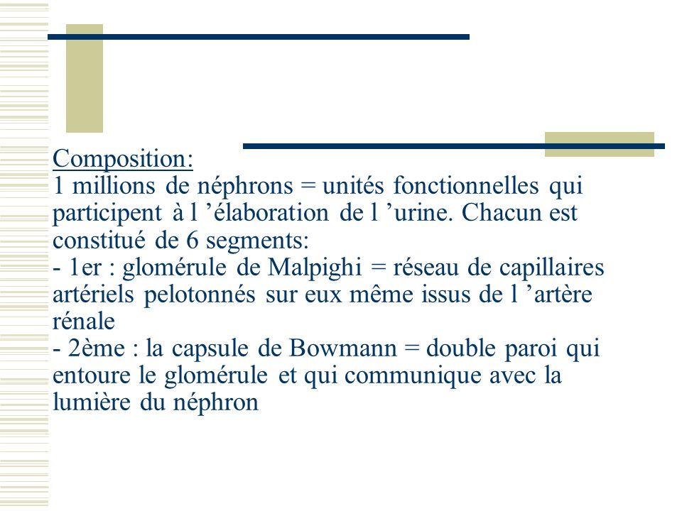 Composition: 1 millions de néphrons = unités fonctionnelles qui participent à l 'élaboration de l 'urine.