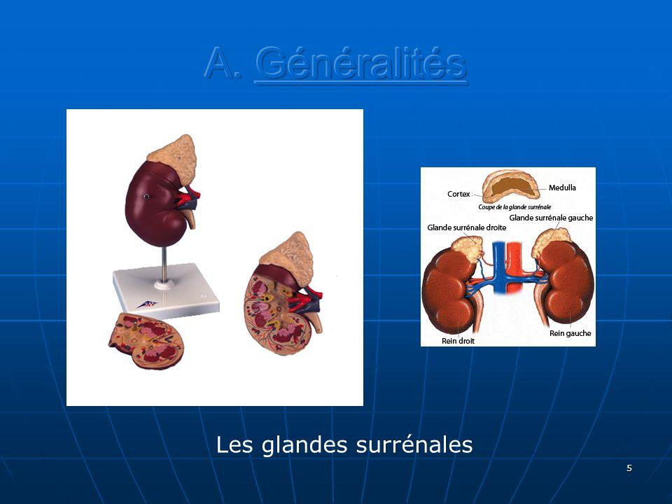 A. Généralités Les glandes surrénales