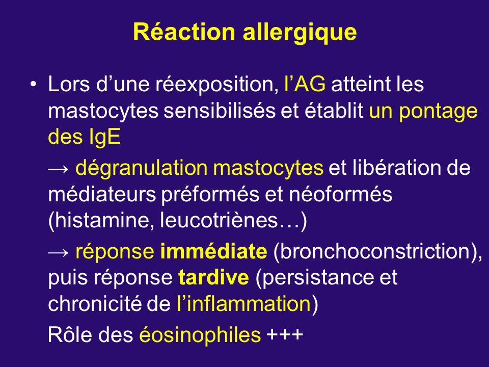 Réaction allergique Lors d'une réexposition, l'AG atteint les mastocytes sensibilisés et établit un pontage des IgE.