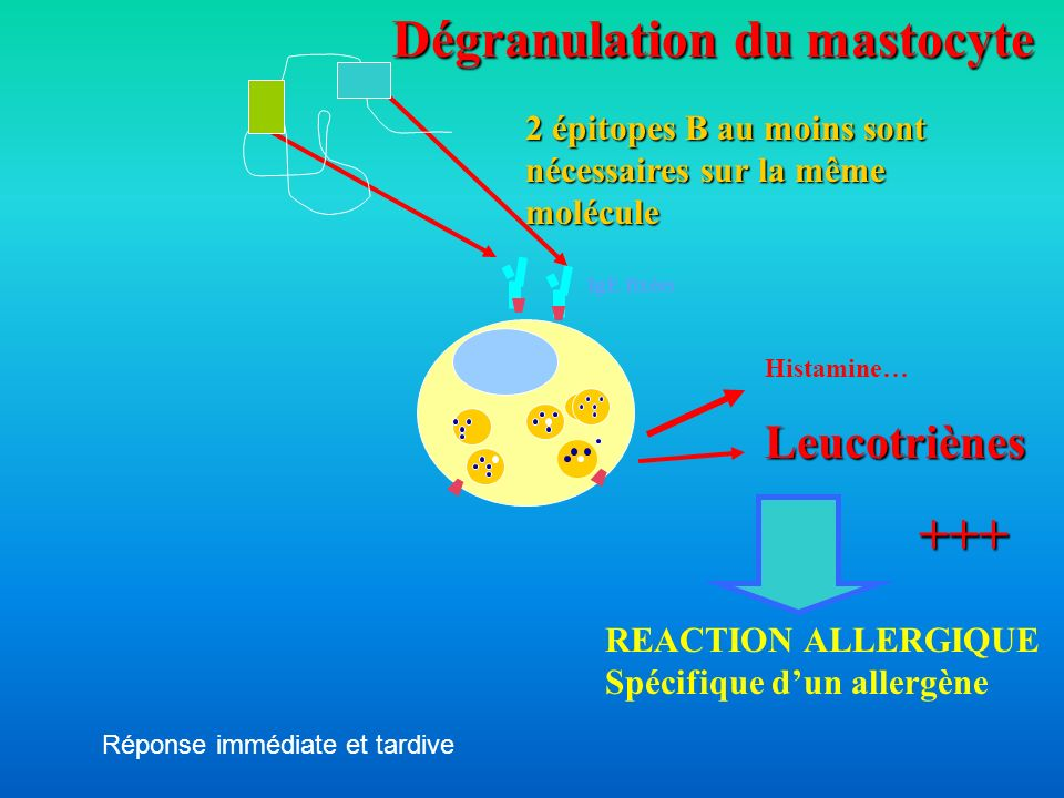 Dégranulation du mastocyte