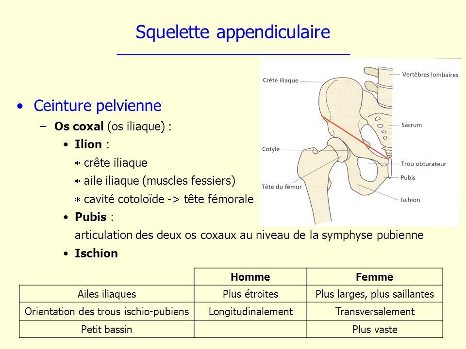 Squelette appendiculaire