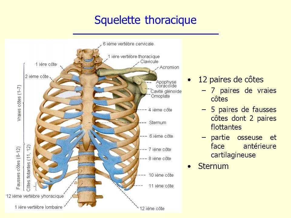 Squelette thoracique 12 paires de côtes Sternum