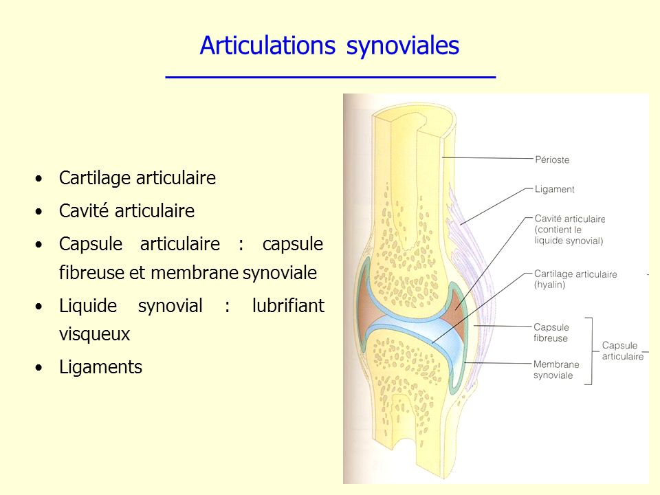 Articulations synoviales