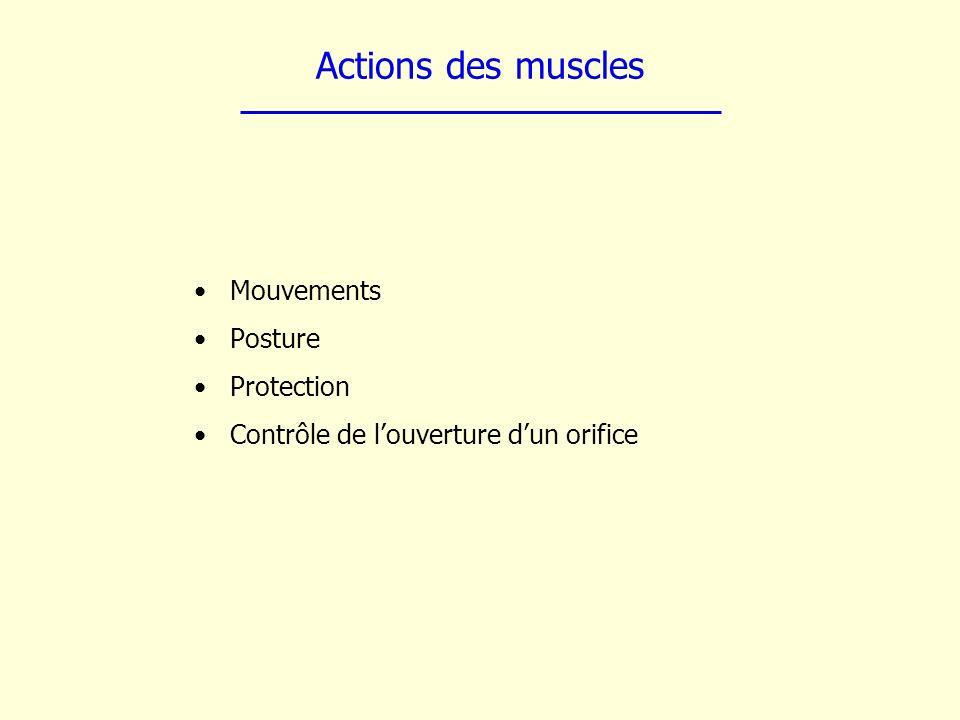 Actions des muscles Mouvements Posture Protection