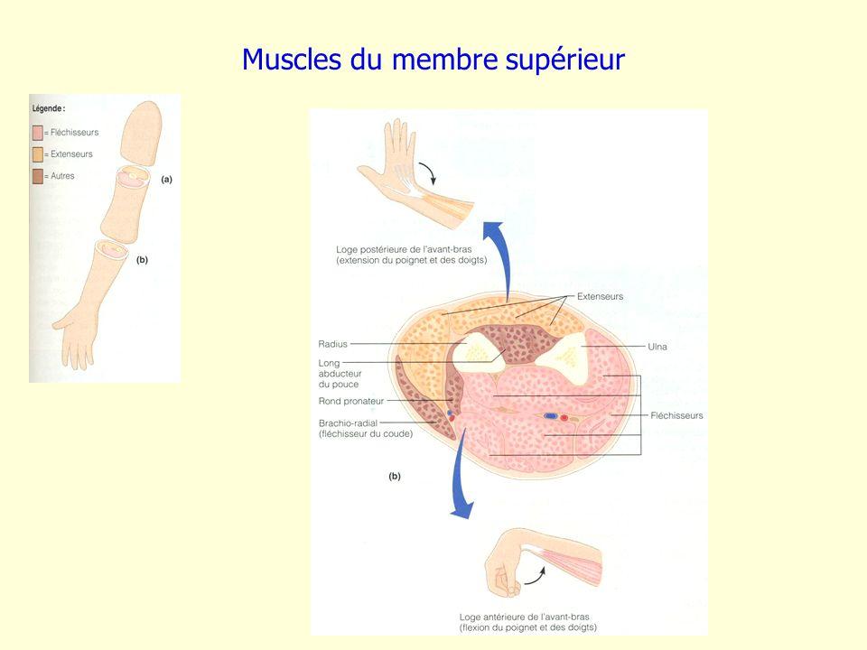 Muscles du membre supérieur