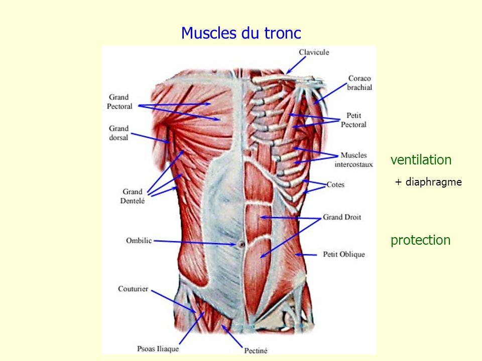 Muscles du tronc ventilation + diaphragme protection