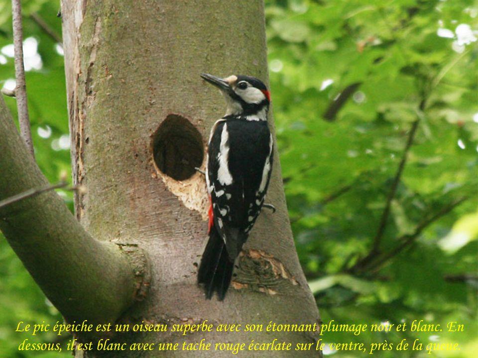 Le pic épeiche est un oiseau superbe avec son étonnant plumage noir et blanc.