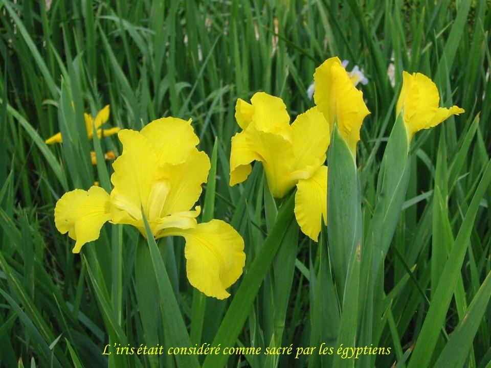 L'iris était considéré comme sacré par les égyptiens