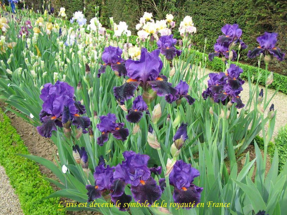 L'iris est devenu le symbole de la royauté en France