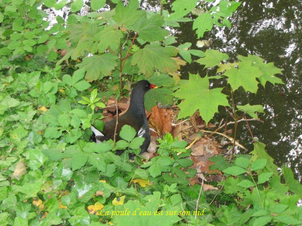 La poule d'eau est sur son nid
