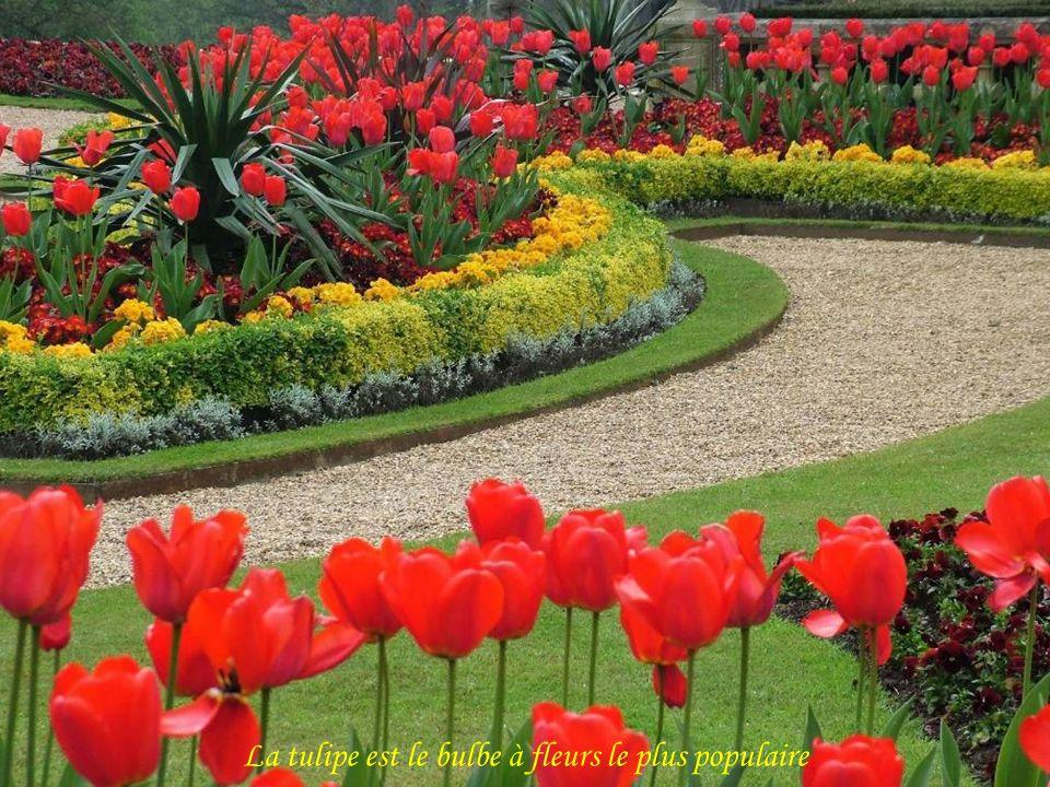 La tulipe est le bulbe à fleurs le plus populaire