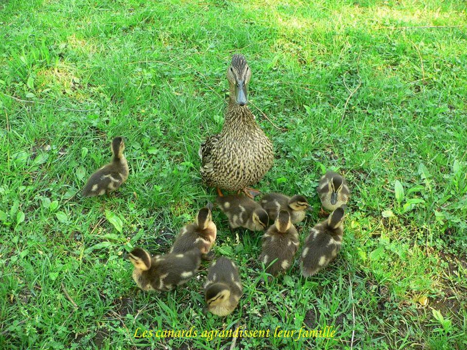 Les canards agrandissent leur famille