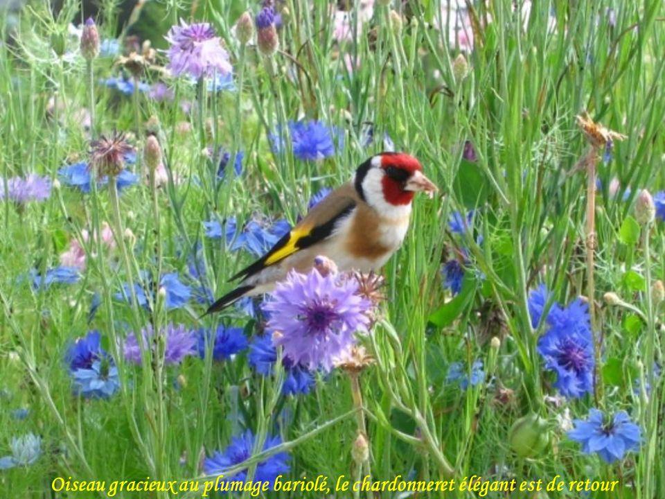 Oiseau gracieux au plumage bariolé, le chardonneret élégant est de retour