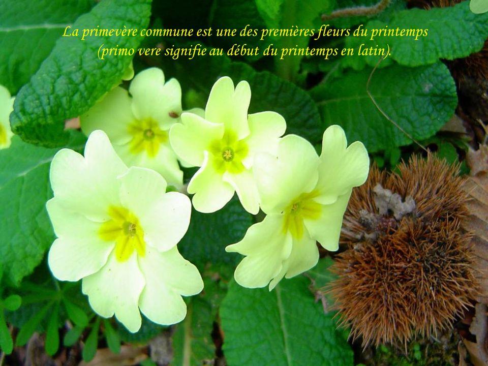 La primevère commune est une des premières fleurs du printemps