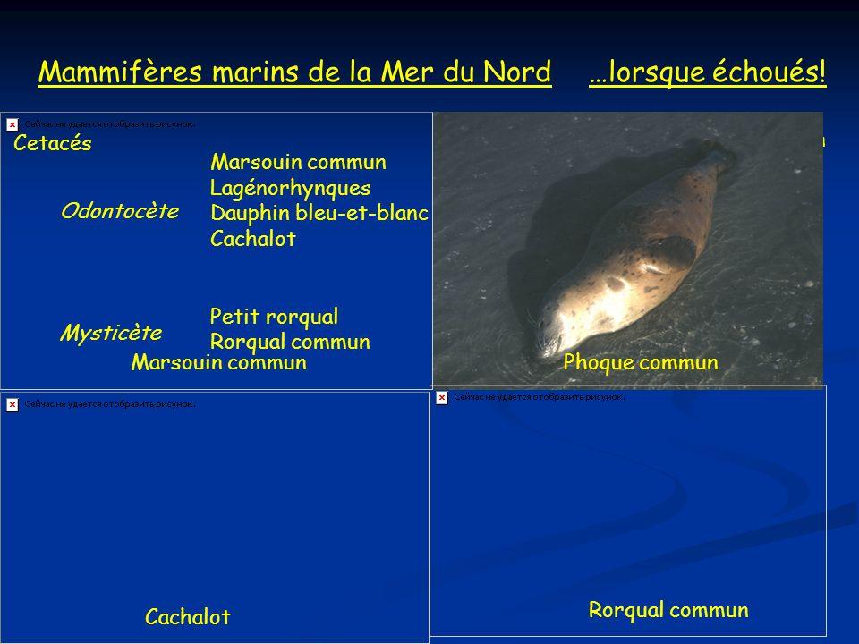 Mammifères marins de la Mer du Nord …lorsque échoués!