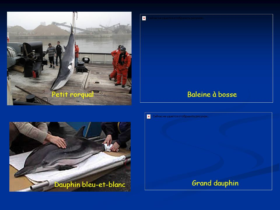 Petit rorqual Baleine à bosse Dauphin bleu-et-blanc Grand dauphin