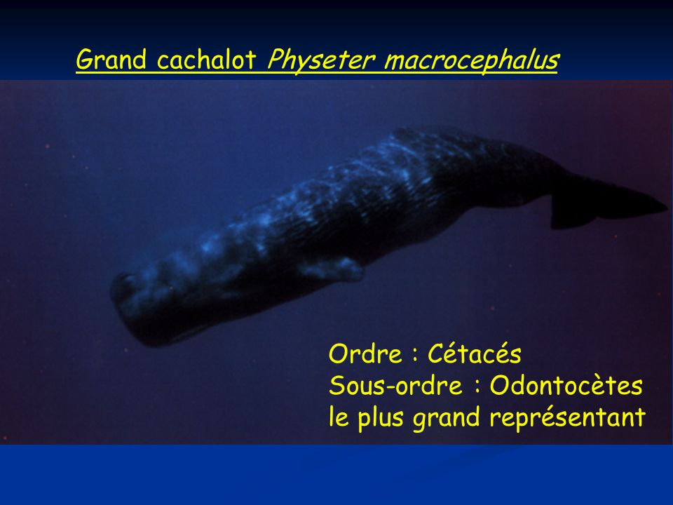 Grand cachalot Physeter macrocephalus
