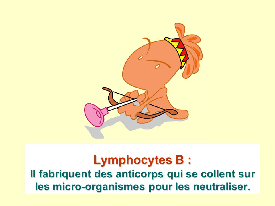 Lymphocytes B : Il fabriquent des anticorps qui se collent sur les micro-organismes pour les neutraliser.