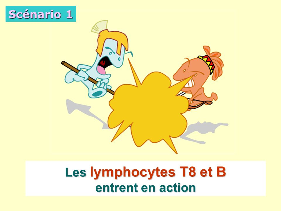 Les lymphocytes T8 et B entrent en action